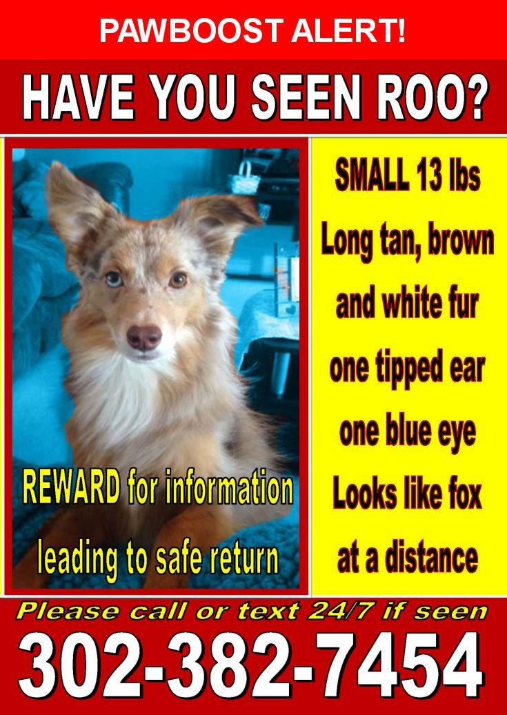 Please spread the word! Roo was last seen in Frederica, DE 19946.  Description: Roo is a 13 pound miniature Australian shepherd, he is missing from Frederica, DE  Nearest Address: Near Rd 35 & Hollarton Dr