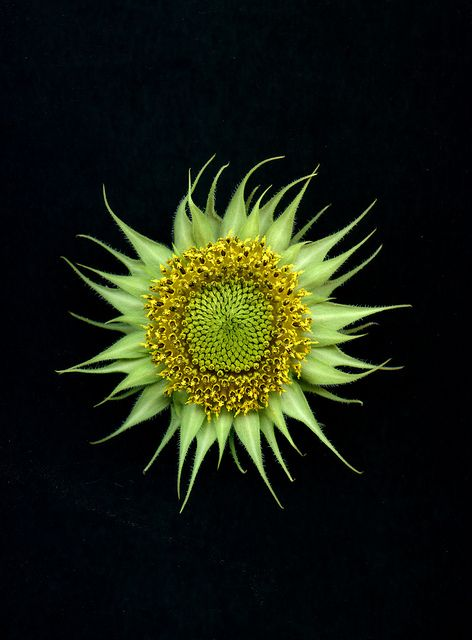 Helianthus annuus by horticultural art, via Flickr