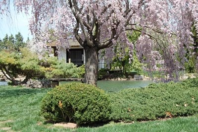 Springfield Mo Mizumoto Japanese Stroll Garden Cherry Tree In Bloom By The Traditional Tea