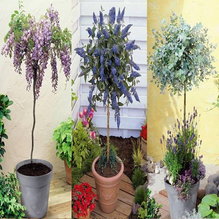 standard eucalyptus wisteria buddleja 3x1 3 trees buy online order yours now plants. Black Bedroom Furniture Sets. Home Design Ideas