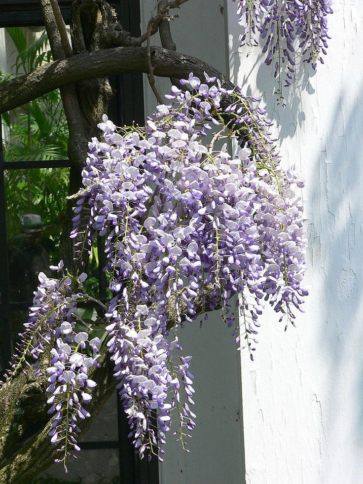 Wisteria floribunda - papilliionaceae/fabaceae - woody deciduous climber - pinnate leaves - early summer pale purple flowers - raceme 30cm - sheltered - long lived - south facing