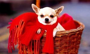 http://best5.it/post/chihuahua-il-cane-piu-piccolo-del-mondo/