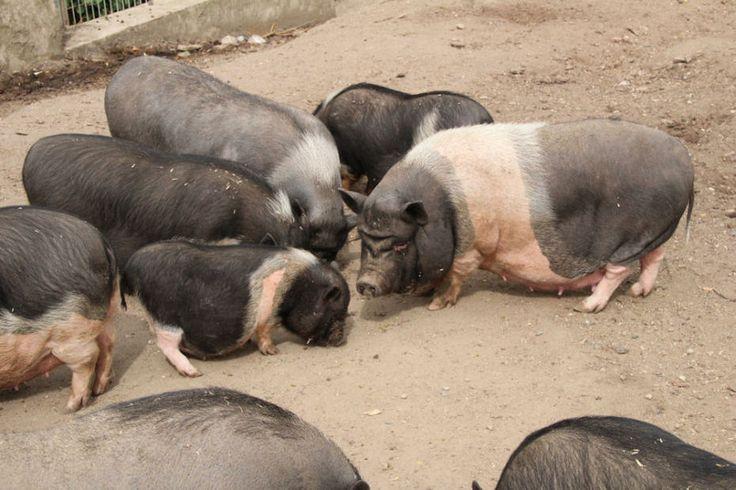 25 best ideas about schweinerassen auf pinterest hausschweine mini teacup schweinchen und. Black Bedroom Furniture Sets. Home Design Ideas