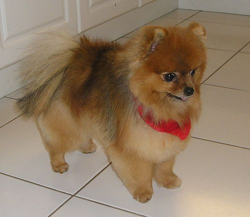 Haircuts For Pomeranians: Lovely Portrait Of Pomeranian