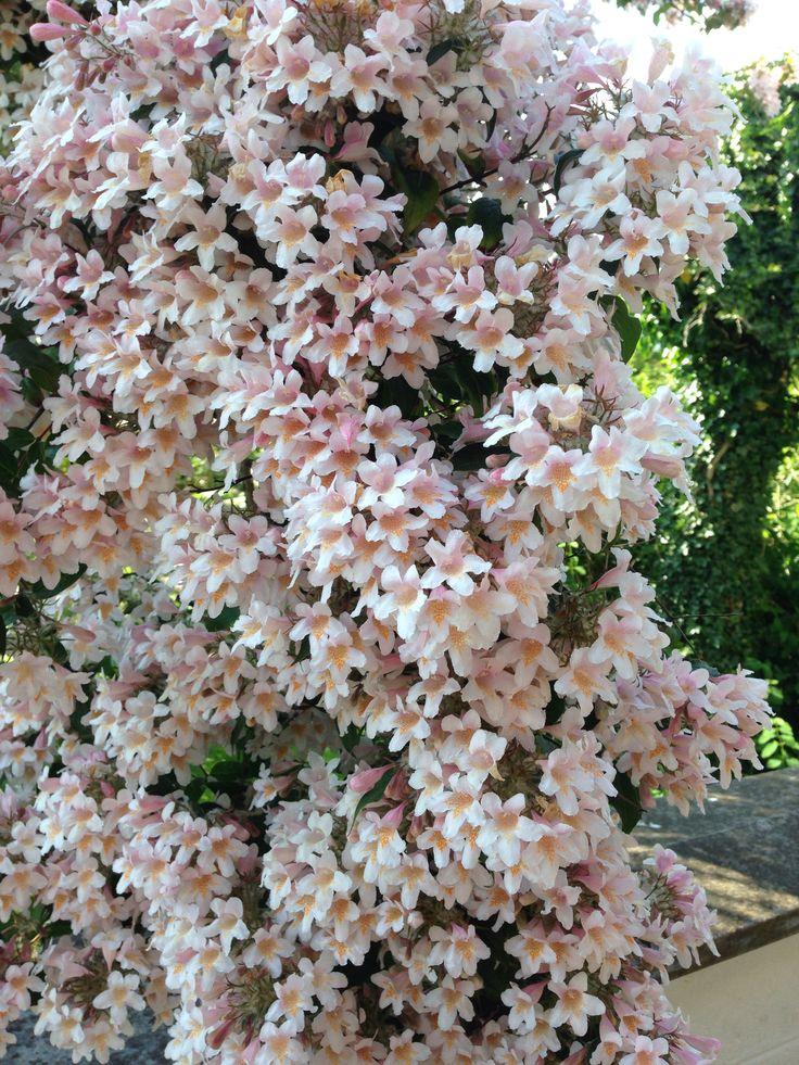 Kolkwitzia amabilis beautifully blooming in my garden in DK