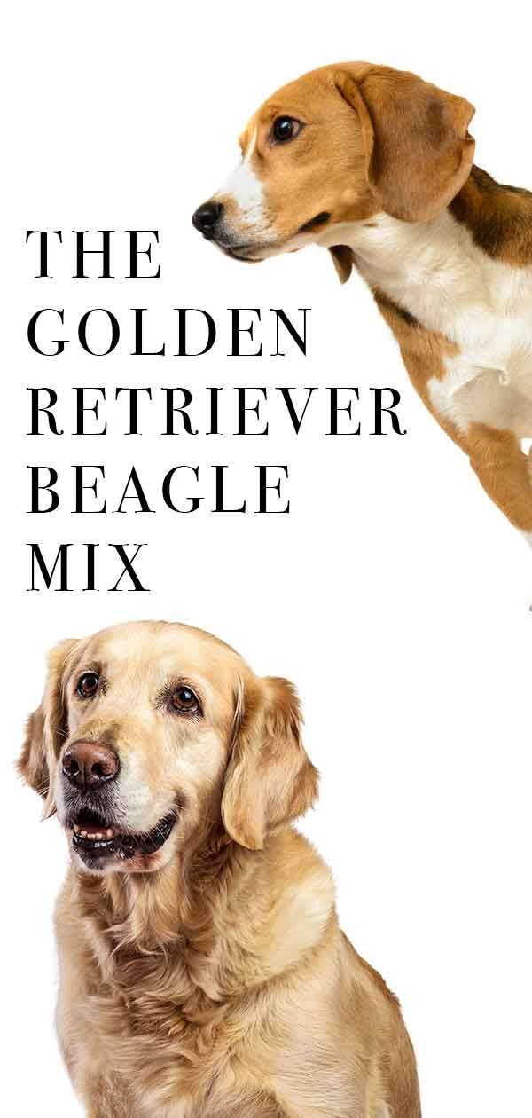 Golden Retriever Beagle Mix Two Of The World S Favorite Dog