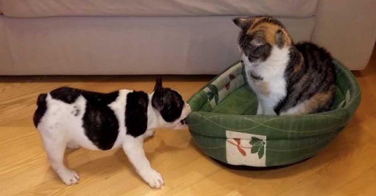 He wants his bed back.  schattige Franse Bulldog pup wil zijn bed terug, maar de kat lijkt dat niets uit te maken…
