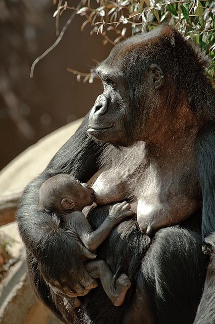 Gorilla & nursing baby
