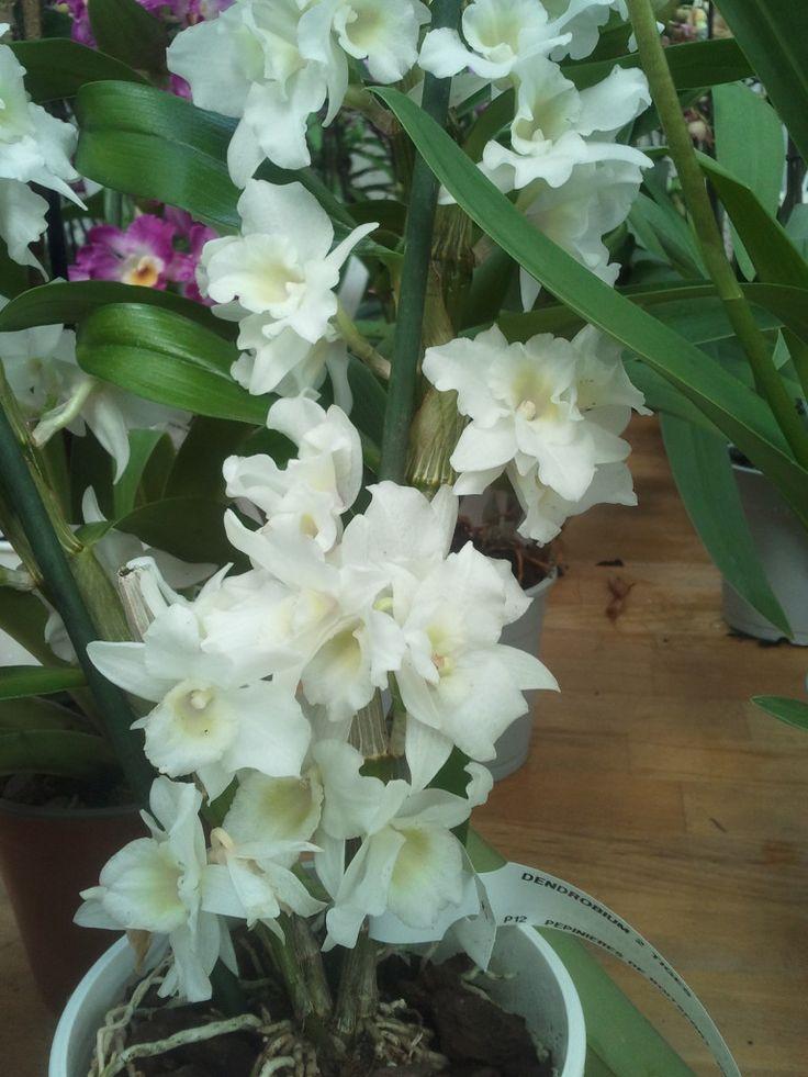 Dendrobium Nobile blanca