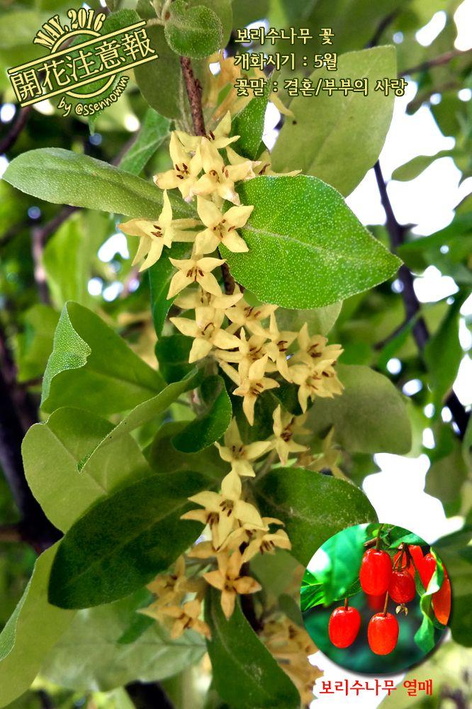 ▶개화주의보(070) 보리수나무 꽃 ※부처님께서 보리수(菩提樹) 아래서 깨달음을 얻었다는 (인도)보리수와 <보리수나무>는 서로 다른 나무다. → http://fb.com/blooming.news/photos/1722990454648461