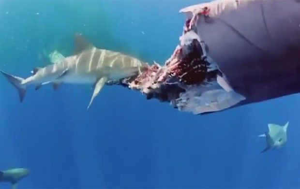 Seis tubarões devoraram a carcaça de baleia em menos de 1h (Foto: Reprodução/YouTube/TomoNews US)