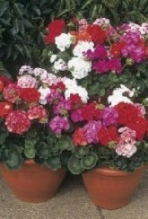 Geraniums Mixed Twin Pack - Plants
