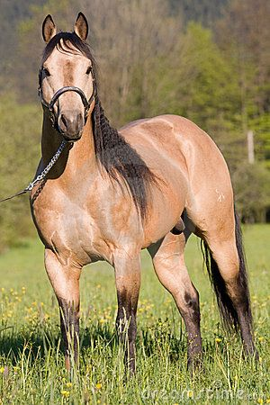 American Quarter Horse | American Quarter Horse Posing Stallion Royalty Free Stock Images ...