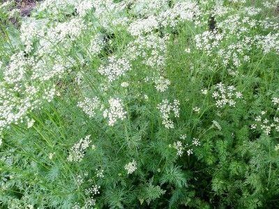 cumin-plant
