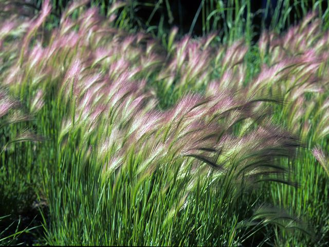 147 best images about or ntal grasses gardens hordeum jubatum foxtail barley 22794