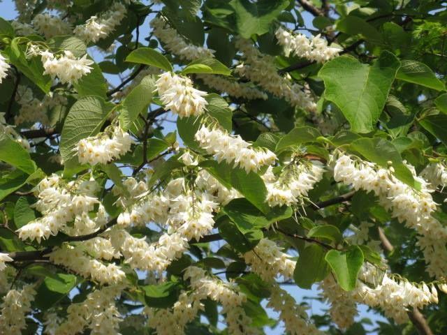 5月26日【ハクウンボク(白雲木)】学名:Styraxobassia別名:オオバヂシャ、オオバジシャ形態:落葉樹 樹高:小高木分類:エゴノキ科花色:白色使われ方:庭木、公園樹などとして使われています。