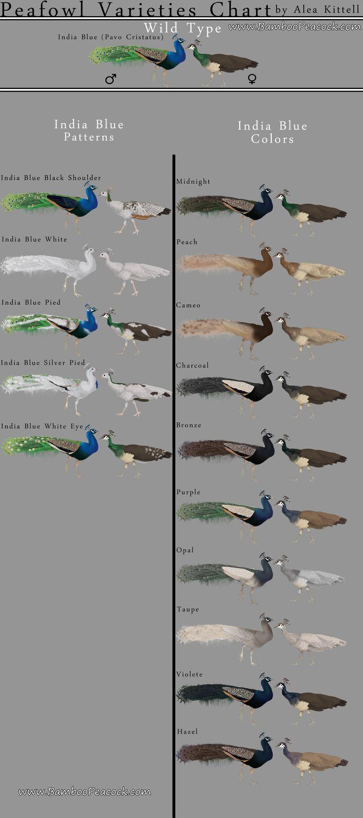 Indian Peafowl Varieties Chart More