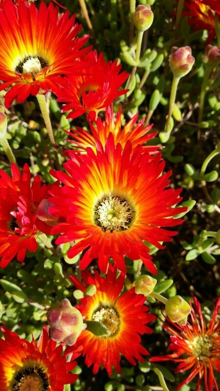 """Flaming"" Aizoacae - vygie, Kirstenbosch Gardens, Western Cape, South Africa"