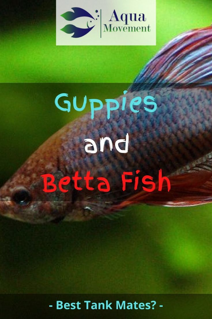 Can Guppies And Betta Fish Live Together Aqua Movement In 2020 Betta Fish Betta Fish Care Betta