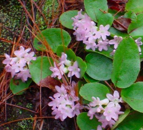 Nova Scotia's provincial flower is the Mayflower