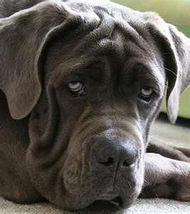 #Neopolitan #Mastiff #dog