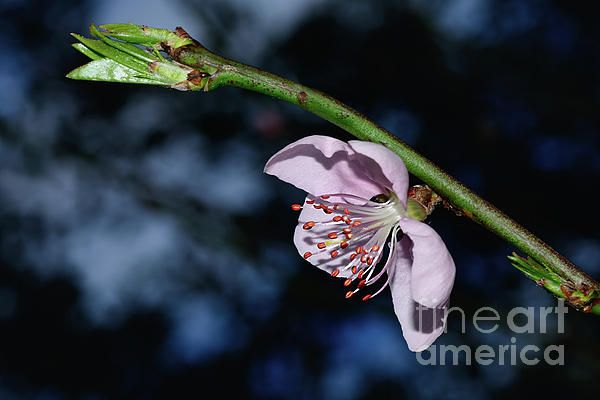 A pretty pink Nectarine blossom and new spring leaves at sunset. #Spring #Blossom at Sunset by #Kaye_Menner #Photography Quality Prints Cards Products with a money back guarantee at: https://kaye-menner.pixels.com/featured/spring-blossom-at-sunset-by-kaye-menner-kaye-menner.html