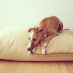 Fawn Check Blanket + Biscuit Mr Woof Bed