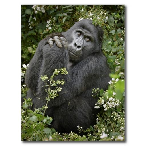 funny praying mountain gorilla :-)