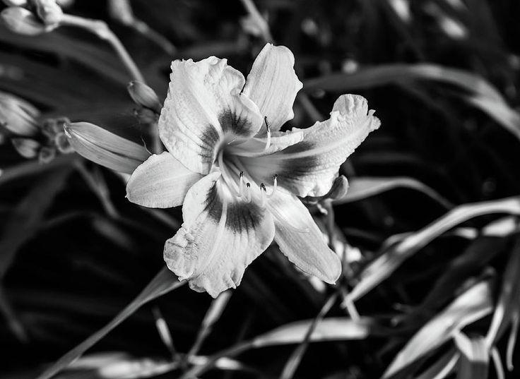 Olga Olay Photograph - Beautiful Lily by Olga Olay #OlgaOlayFineArtPhotography #ArtForHome #FineArtPrints #Flower