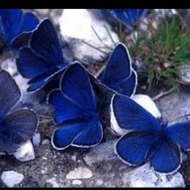 Mission Blue Butterflies.