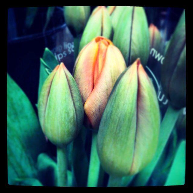 Ontario tulips.