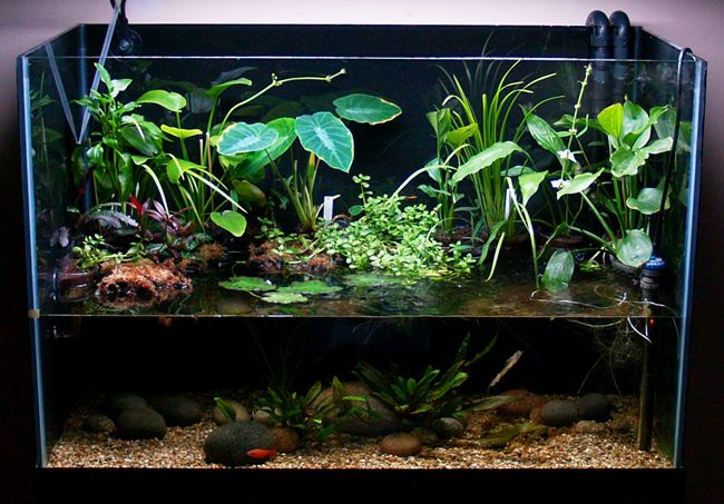 Biotope amazone google pinterest for Feng shui fish tank