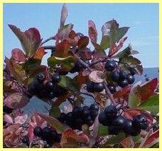 Černá jeřabina - popis a zdravotní účinky, arónie, jeřáb černý, temnoplodec černoplodý, aronia melanocarpa, black chokeberry