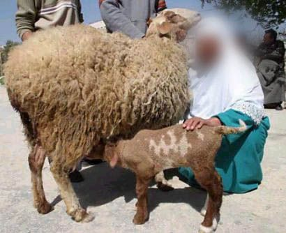 Allah's name appears as a birthmark on a lamb born in Palestine islamic miracle picture
