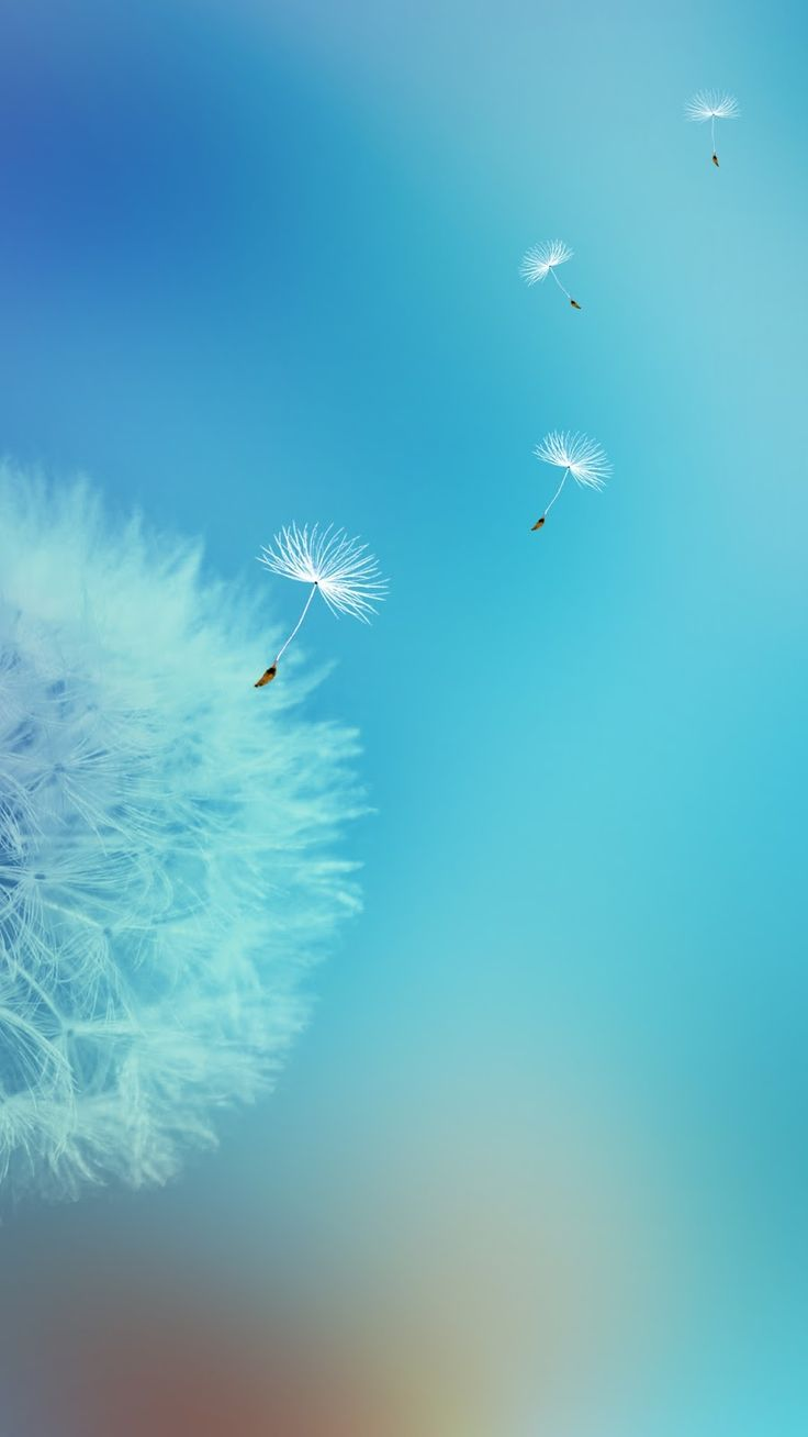 Dandelion Flower Wallpapers Galaxy S7 Edge 900x