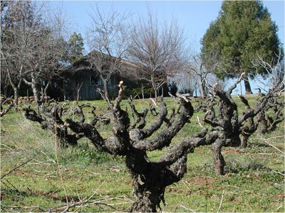 Head-Trained, Spur-Pruned Training System for Grapes - eXtension