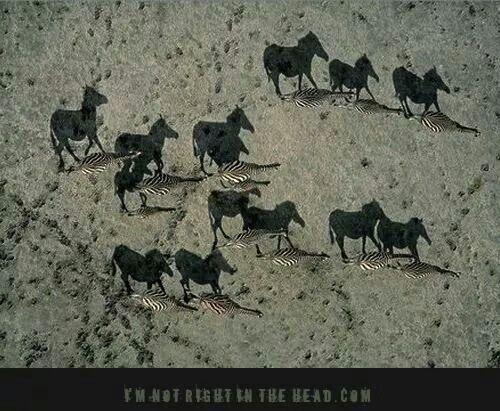 Horse/zebras
