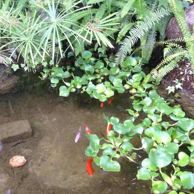 Koi Pond At Tioga Gardens Owego, NY.
