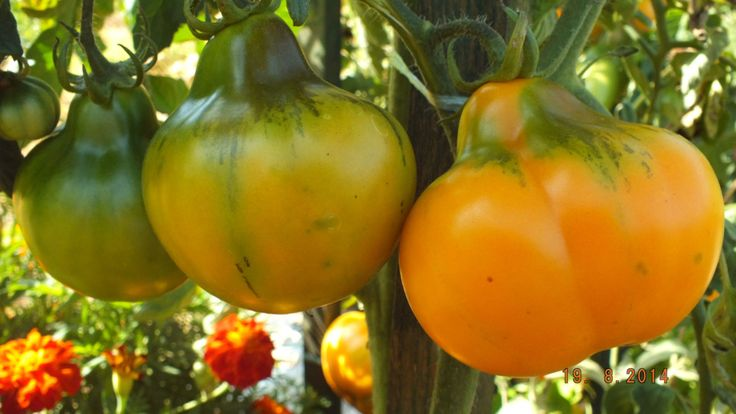 98 Best Heirloom Tomato Seeds For All Images On Pinterest 640 x 480