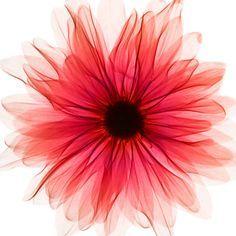 beutiful gerbera daisy watercolor tattoo