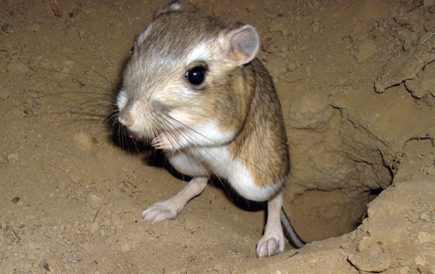 These little guys are all over Big Bend National Park. I'm in love with the kangaroo rat.