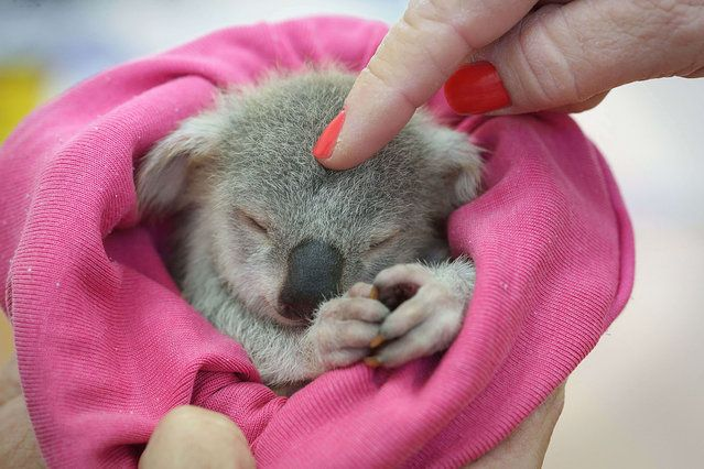 "An adorable baby koala is seen enjoying a snooze after a traumatic start to life. The baby koala, nicknamed ""Blondie Bumstead"", is being car..."