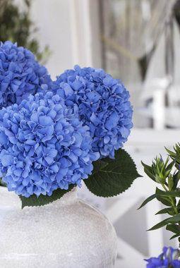 Hortensia brukes ofte som snitt i dekorasjoner og buketter