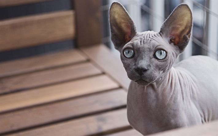 Download wallpapers Sphynx Cat, pets, 4k, gray cat, hairless cats