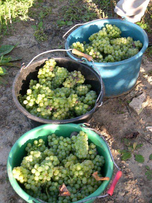 Chardonnay grapes hand picked - as is the regulation for all champagne grapes- with stems left on. The stems act as conduits for the grape juice to run off during pressing