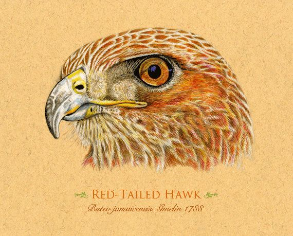 Art Print RedTailed Hawk Bird by roxy5235 on Etsy, $19.99