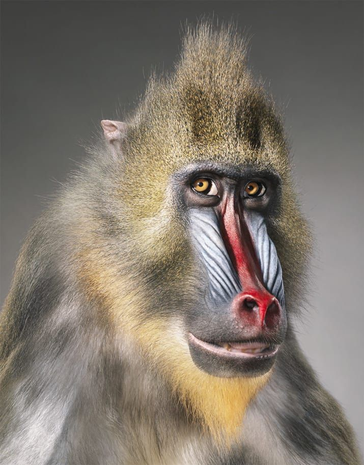A Photographer Spent Two Years Photographing Animals That May Soon Be Extinct Endangered Animals Animal Photography Mandrill