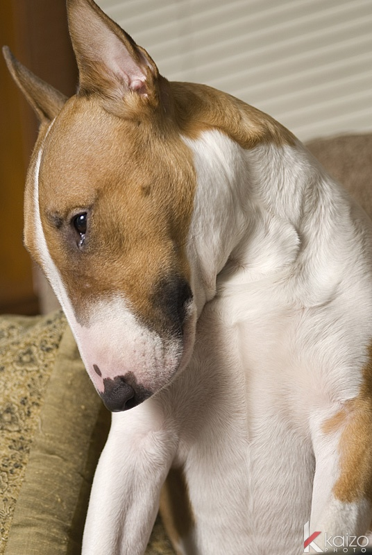 Cant believe people are scared of Bull Terriers! Quiet, intelligent and loyal. #badDogsAreRaisedNotBorn