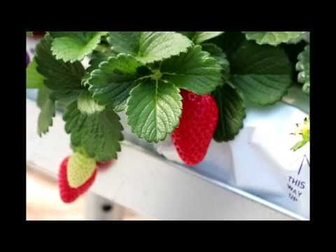 FRAOULABEST - ΤΣΑΧΑΛΟΣ ΑΕ - Υδροπονική Τραγανή Φράουλα - YouTube
