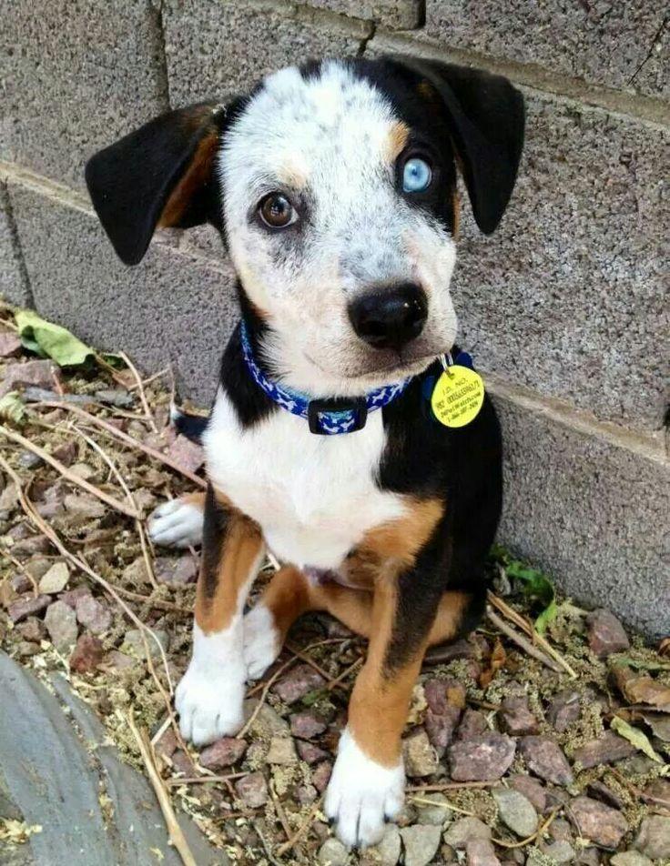 Blue Heeler (Australian Cattle Dog) Training Tips